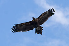 220px-Wedge_tailed_eagle_in_flight04
